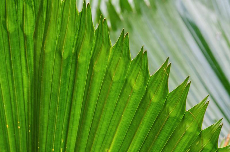 NBb60 Palm Frond Detail, Selva Verde, Costa Rica