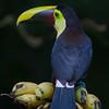 NAb3239 Chestnut-mandibled Toucan (Ramphastos swainsonii), Selva Verde, Costa Rica