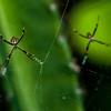 NAd130 Orb Weaving Spider (Argiope savignyi), San Jose, Costa Rica