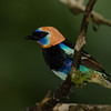 NAb4623 Golden-hooded Tanager (Tangara larvata), male, Costa Rica
