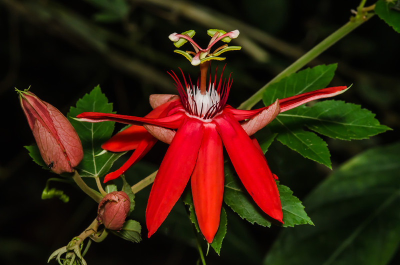 NBa1152 Scarlet Passion Flower (Passiflora coccinea), Fortuna, Costa Rica