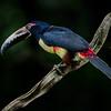 NAb3286 Collared Aracari (Pteroglossus torquatus), Selva Verde, Costa Rica