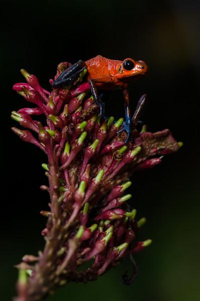 NAc327 Strawberry Poison-dart Frog (Dendrobates pumilio), Selva Verde, Costa Rica
