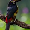 NAb3975 Collared Aracari (Pteroglossus torquatus), Selva Verde, Costa Rica