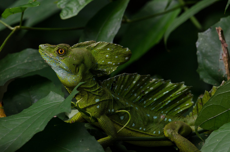 NAc275 Common Basilisk (Basiliscus basiliscus), Costa Rica _