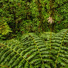 WAb440 Tree Fern and Rain Forest, Arenal Observatory Lodge, Costa Rica