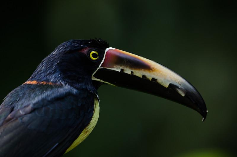 NAb3383 Collared Aracari (Pteroglossus torquatus), Selva Verde, Costa Rica
