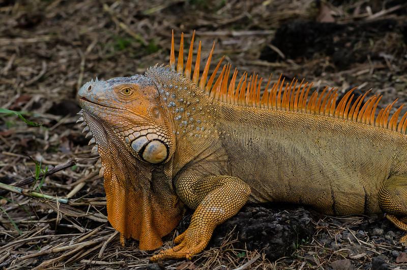 NAc878 Green Iguana (Iguana iguana), Muelle S. Carlos, Costa Rica