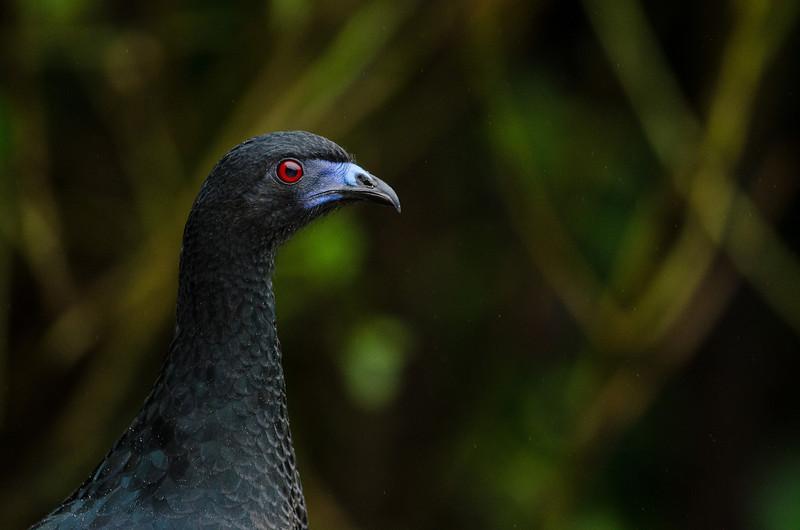 NAb4343 Black Guan (Chamaepetes unicolor), Bosque de Paz, Costa Rica