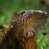 NAc236 Green Iguana (Iguana iguana), Selva Verde, Costa Rica