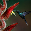 NAb4206 Violet Sabrewing Hummingbird (Campylopterus hemileucurus), Bosque de Paz, Costa Rica