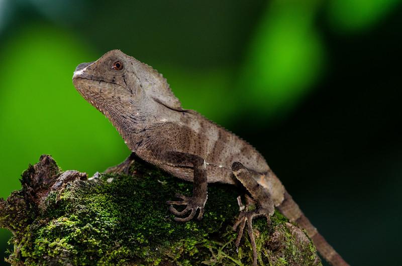NAc477 Casque-headed Lizard (Corytophanes cristatus), Fortuna, Costa Rica