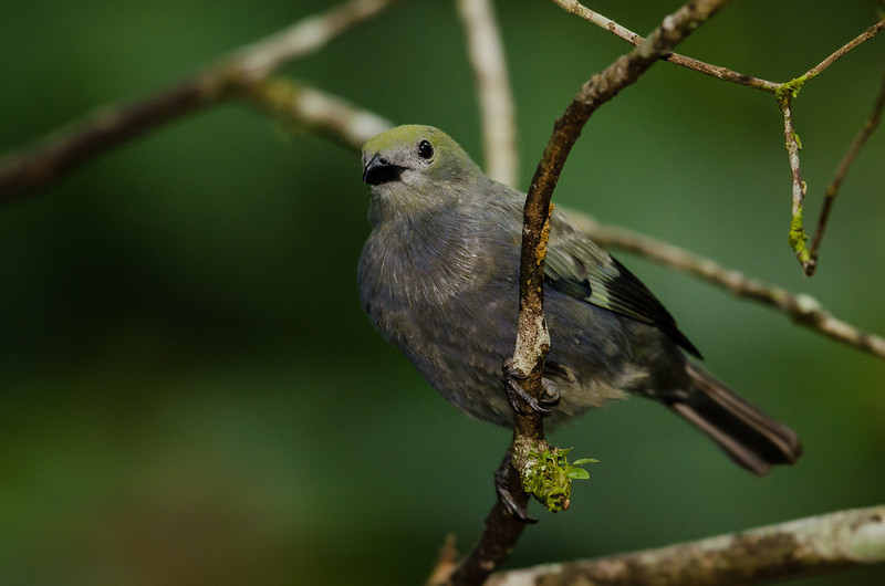 NAb4653 Palm Tanager-(Thraupis palmarum), Fortuna, Costa Rica