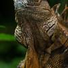 NAc251 Green Iguana (Iguana iguana), Selva Verde, Costa Rica