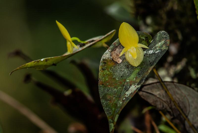 NBa1209 Micro-orchid (Pleurothallis cardiothallis), Bosque de Paz, Costa Rica