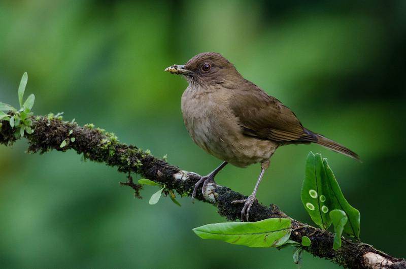 NAb4542 Clay-colored Robin (Turdus grayi), Selva Verde, Costa Rica
