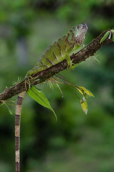 NAc671 Green Iguana (Iguana iguana), Fortuna, Costa Rica