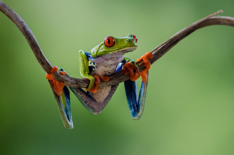 NAc551 Red-eyed Tree Frog (Agalychnis callidryas), Fortuna, Costa Rica