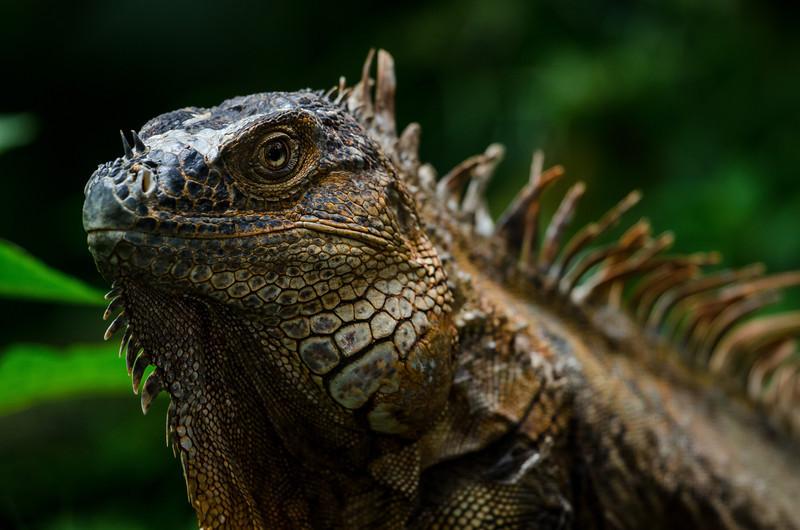 NAc256 Green Iguana (Iguana iguana), Selva Verde, Costa Rica