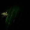 NAc358 Masked Treefrog (Smilisca phaeota), Selva Verde, Costa Rica