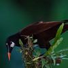 NAb3354 Montezuma Oropendola (Gymnostinops montezuma), Selva Verde, Costa Rica