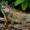 NAc826  Green Iguana (Iguana iguana), Costa Ricap