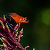 NAc324 Strawberry Poison-dart Frog (Dendrobates pumilio), Selva Verde, Costa Rica