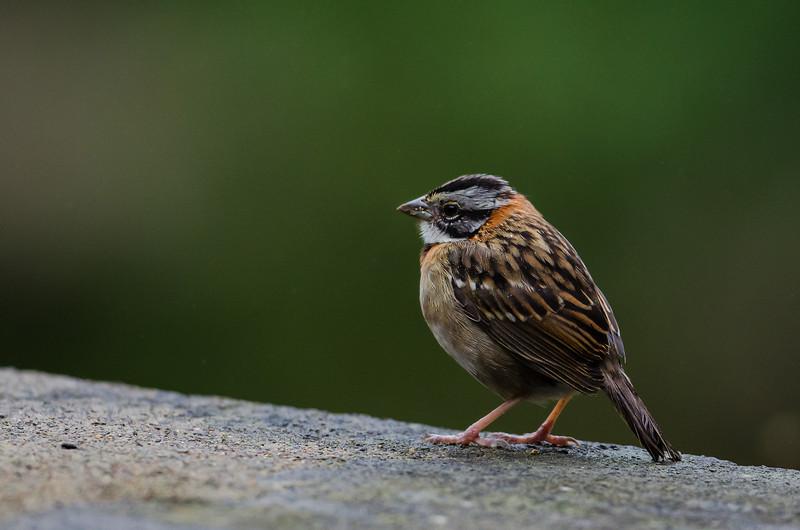 NAb3678 Rufous-collared Sparrow-(Zonotrichia capensis), Bosque de Paz, Costa Rica