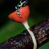 NAc305 Black and Green Poison-dart Frog (Dendrobates auratus), Selva Verde, Costa Rica