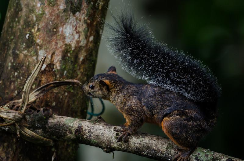 NAa249 Red-tailed squirrel (Sciurus granatensis), Selva Verde, Costa Rica