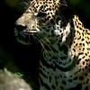 NAa322 Jaguar (Panthera onca), Selva Verde, Costa Rica