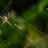 NAd132 Orb Weaving Spider (Argiope savignyi), San Jose, Costa Rica