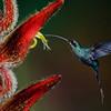 NAb4285 Green Hermit Hummingbird (Phaethornis guy), Bosque de Paz, Costa Rica