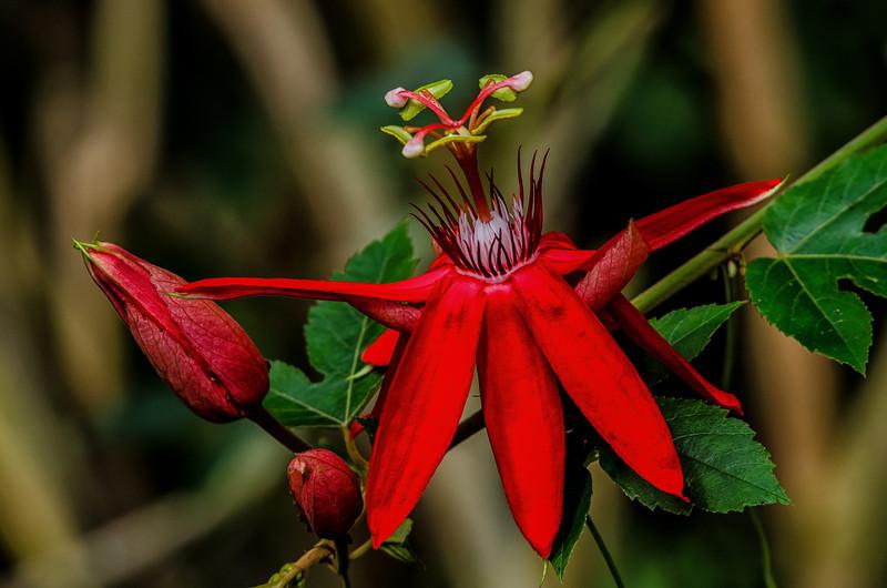 NBa1144 Scarlet Passion Flower (Passiflora coccinea), Fortuna, Costa Rica