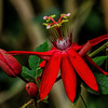 NBa1144 Scarlet Passion Flower (Passiflora coccinea), Fortuna, Costa Rica