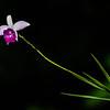 NBa1091 Bamboo Orchid (Arundina graminifolia), Arenal Observatory Lodge, Costa Rica
