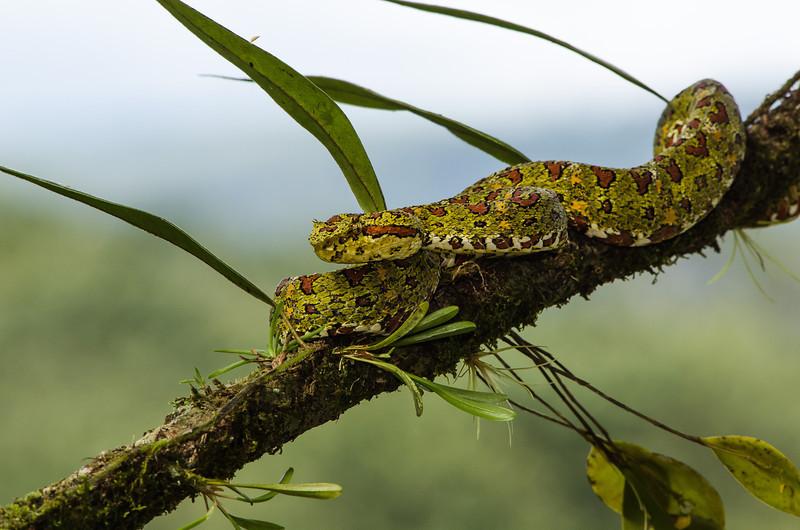 NAc438 Eyelash Viper (Bothriechis schlegelii), Fortuna, Costa Rica