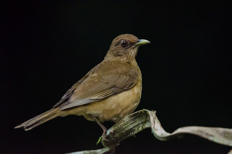 NAb3463 Clay-colored Robin (Turdus grayi), Selva Verde, Costa Rica