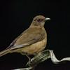 NAb3463 Clay-colored Robin (Turdus grayi), Selva Verde, Costa Rica