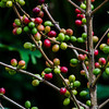 NBb22 Green Coffee Beans (Coffea arabica), San Jose, Costa Rica