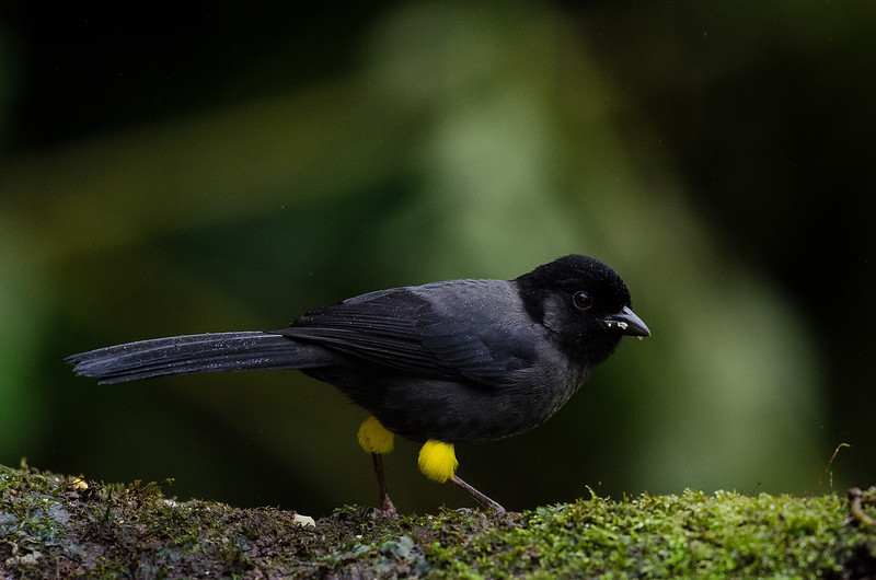 NAb4319 Yellow-thighed Finch (Pselliophorus tibialis), male, Bosque de Paz, Costa Rica