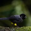 NAb4319 Yellow-thighed Finch (Pselliophorus tibialis), male, Bosque de Paz, Costa Rica