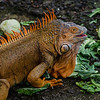 NAc807 Green Iguana (Iguana iguana), Muelle S. Carlos, Costa Rica