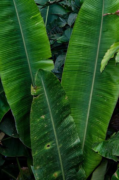 NBb80 Palm Leaves, La Selva Biological Station, Costa Rica