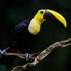 NAb3078 Chestnut-mandibled Toucan (Ramphastos swainsonii), Selva Verde, Costa Rica