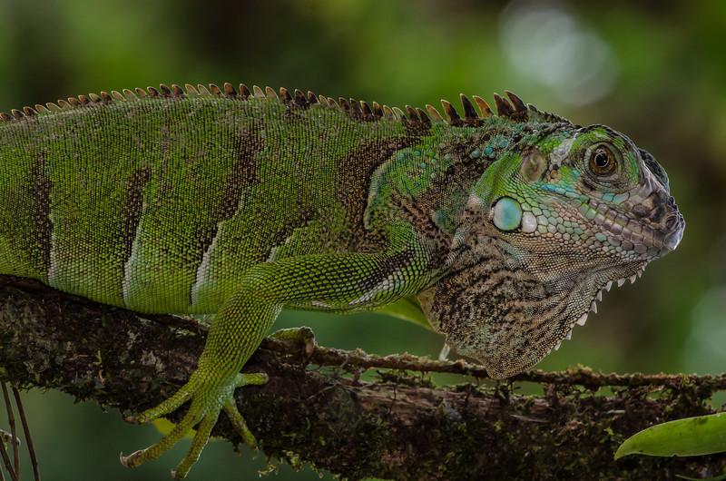 NAc662 Green Iguana (Iguana iguana), Costa Rica