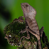 NAc497 Casque-headed Lizard (Corytophanes cristatus), Fortuna, Costa Rica