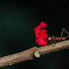 NAd98 Leaf-Cutter Ant (Atta cephalotes), Fortuna, Costa Rica