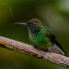 NAb4174 Coppery-headed Emerald (Elvira cupreiceps), Bosque de Paz, Costa Rica