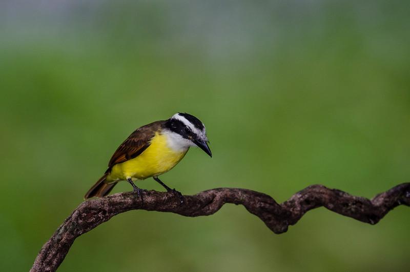 NAb3359 Great Kiskadee (Pitangus sulphuratus), Selva Verde, Costa Rica